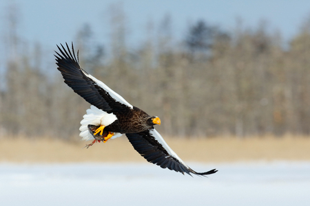 Wildlife action behaviour scene from nature. Eagle flying with fish. Beautiful Steller's sea eagle, Haliaeetus pelagicus, flying bird of prey, with winter forest in background, Kamchatka, Russia.