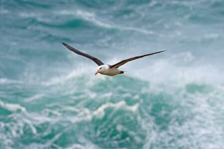 Albatross in fly with sea wave in the background. Black-browed albatross, Thalassarche melanophris, bird flight, wave of the Atlantic sea, on the Falkland Islands. Action wildlife scene from the ocean.