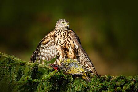 Scène d'alimentation avec oiseau et capture. Autour des palombes sur l'arbre. Hawk de République Tchèque. Scène de la faune de la nature. Comportement des oiseaux Oiseau de proie Goshawk vert pivert sur l'épinette verte.