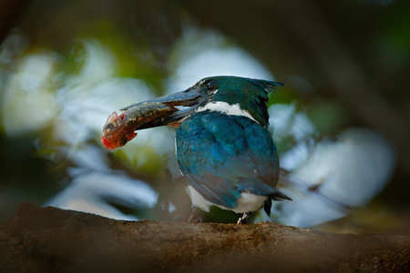 Kingfisher with big fish in bill. Amazon Kingfisher, Chloroceryle amazona, Green and white bird sitting on the branch, bird in the nature habitat, Baranco Alto, Pantanal, Brazil. Wildlife scene.
