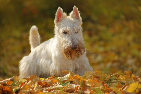 White wheaten Scottish terrier, sitting on gravel road with orange leaves during autumn, yellow tree forest in background. Dog in the fall garden, terrier in yellow leaves. Cute dog with bard. Stock Photo