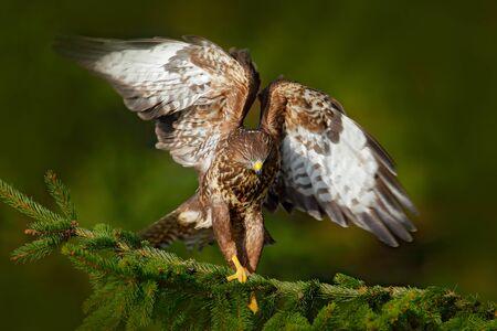 Bird of prey Common Buzzard, Buteo buteo, sitting on coniferous spruce tree branch. Bird hidden in the tree in dark forest. Wildlife scene from the nature. Landing ion spruce tree. Buzzard in fly. Stock Photo