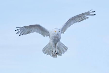 Snowy owl, Nyctea scandiaca, rare bird flying on the sky, winter action scene with open wings, Greenland. Stockfoto