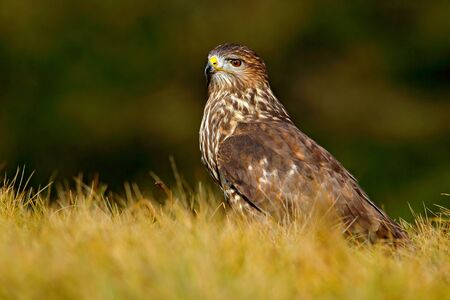 Wildlife in Slovakia. Hunter in the grass. Birds of pray Common Buzzard, Buteo buteo, sitting in the grass with blurred green forest in background. Common Buzzard with catch. Feeding scene, nature. Stock Photo
