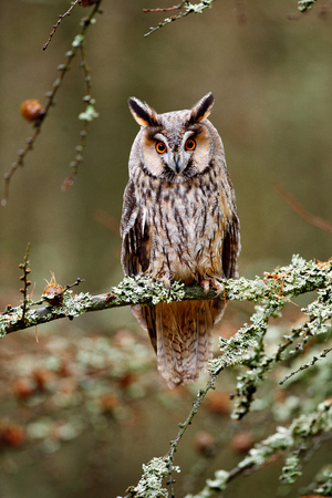Long-eared Owl sitting on the branch in the fallen larch forest during autumn. Owl in nature wood nature habitat. Bird sitting on the tree, long ears. Owl hunting. Green lichen Hypogymnia physodes.