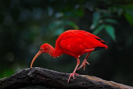 Scarlet Ibis, Eudocimus ruber, exotic bird in the nature habitat, bird sitting on tree branch with evening sun light, during sunset, Venezuela. Rare bird in the dark green vegetation in South America.