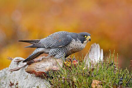 Bird behavour, falcon with catch bird. Bird of prey Peregrine Falcon feeding pheasant on the rock with yellow autumn background in the background. Wildlife scene from forest. Bird feeding bird.
