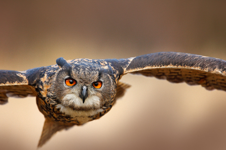 Face flying bird with open wings in grass meadow, face to face detail attack fly portrait, orange forest in the background, Eurasian Eagle Owl, Bubo bubo, animal with big eyes, nature habitat, Norway. Imagens