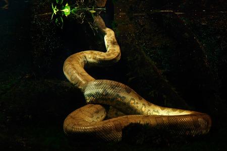 Green anaconda in the dark water, underwater photography, big snake in the nature river habitat, Pantanal, Brazil.