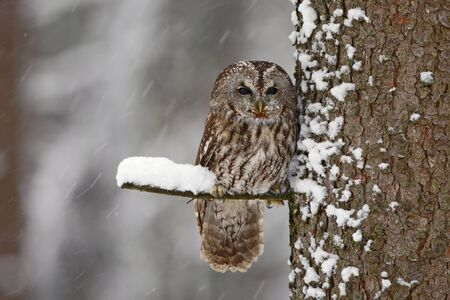 Tawny Owl snow covered in snowfall during winter, tree trunk with snow. Winter scene from forest. Cold season with owl. Wildlife scene from nature. Owl from Sweden. Stock Photo