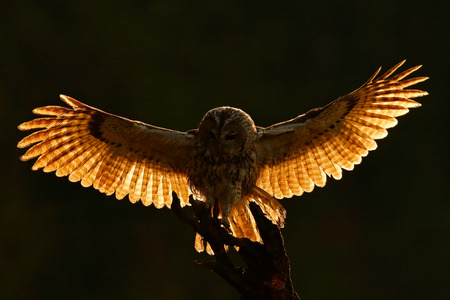 Morning back light. Flying owl. Owl in the forest. Owl in fly. Action scene with owl. Flying Eurasian Tawny Owl, with dark blurred forest in the background. Flying bird in forest. Sunrise with owl.