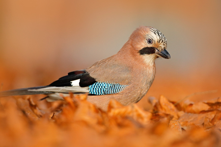 Portrait of nice bird Eurasian Jay, Garrulus glandarius, with orange fall down leaves and morning sun during autumn. Close-up portrait of jay. Orange forest leaves with beautiful bird.  Stock Photo