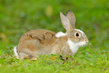 Cute rabbit with flower dandelion sitting in grass during Easter. Wildlife scene form nature. Animal behaviour at forest. Mammal in the spring meadow. Hare, nature habitat. Animal in grass garden. Banque d'images