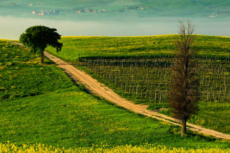 Solitary cypress tree with gravel rad in morning fog, Tuscany, Italy. Roar between the  fields. Flower meadow landscape in Tuscany. Landscape in Italy hills. Morning with beautiful sun.