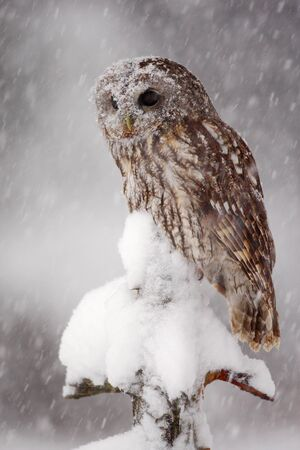 Winter wildlife scene with owl. Tawny Owl snow covered in snowfall during winter. Action snowfall scene with beautiful forest bird. Owl sitting on the tree branch with snow. Owl from Sweden, Europe.