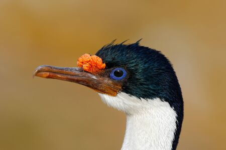 Detail portrait of Imperial Shag, Phalacrocorax atriceps, black and white cormorant with blue eyea from Falkland Islands.