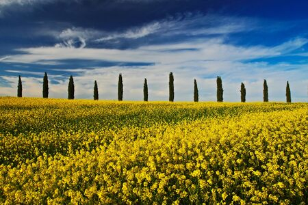 Yellow flower field with clear dark blue sky with white clouds, Tuscany, Italy. Yellow meadow with flower. Yellow bloom with cypress tree and blue sky. Field in the summer. Rape flower on the field.