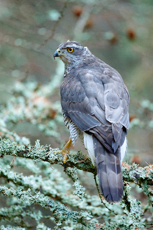 Goshawk in forest. Birds of prey Goshawk sitting on the branch in the fallen larch forest during autumn. Wood animal, wildlife scene from nature.