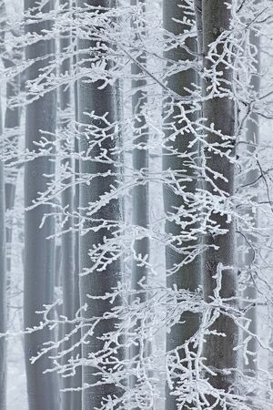 Winter in forest, trees with rime. Cold winter with ice on tree blanch in Europe, Germany. Winter wood, white forest landscape.