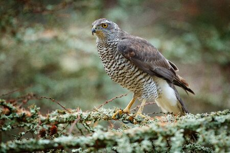 Goshawk in forest. Birds of prey Goshawk sitting on the branch in the fallen larch forest during autumn. Wood animal, wildlife scene from nature. Goshawk in Sweden nature. Bird in wood habitat.