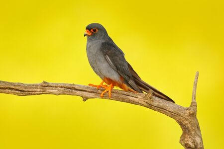 Red-footed Falcon, Falco vespertinus, bird sitting on branch with clear green background, cleaning plumage, feather in the bill, animal in the nature habitat, Hungary. Grey male of Red-footed Falcon.