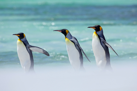 Penguins in the sea. Ocean wildlife. Sunny day with penguin. Group of four King penguins, Aptenodytes patagonicus, going white snow to sea, Falkland Islands. Three bird in the snow, ocean walking.