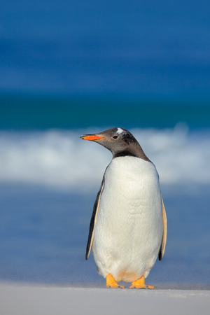Penguin in the sea. Bird with blue waves. Ocean wildlife. Funny image. Gentoo penguin jumps out of blue water while swimming through the ocean in Falkland Island. Action wildlife scene from nature. Stock Photo