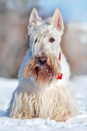White wheaten Scottish terrier, sitting on the snow during winter. Winter dog scene with snow. White dog in sonny day in cold winter. Cute animal in snow. White fur coat beautiful dog. Sunny day. Stock Photo
