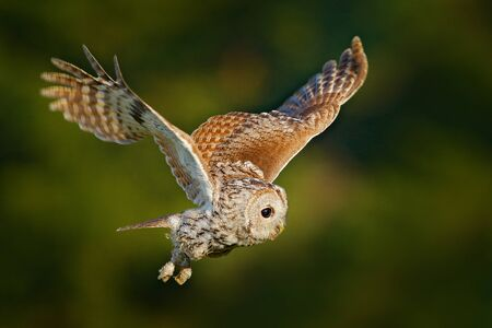 Flying owl. Owl in the forest. Owl in fly. Action scene with owl. Flying Eurasian Tawny Owl, Strix aluco, with nice green blurred forest in the background. Flying bird in forest. Rare owl from Sweden. Stock Photo
