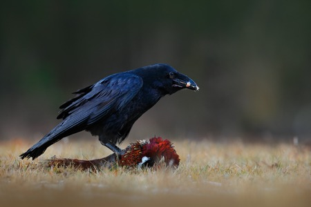 Black bird raven with dead Common Pheasant, Carcass in forest. Feeding scene from nature. Black bird from Gramany. Bird with food. Dark forest with raven. Carcass on the meadow.