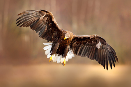 Eagle fly above the lake surface. White-tailed Eagle, Haliaeetus albicilla, face flight, landing, bird of prey with forest in background. Animal in nature habitat, Sweden. Wildlife scene from nature.