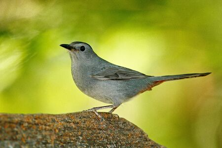 Gray catbird, Dumetella carolinensis, birdwatching in Central America. Wildlife scene from nature, Belize. Grey bird in the nature habitat. Tanager sitting on the green palm tree. Forest animal. Stock Photo
