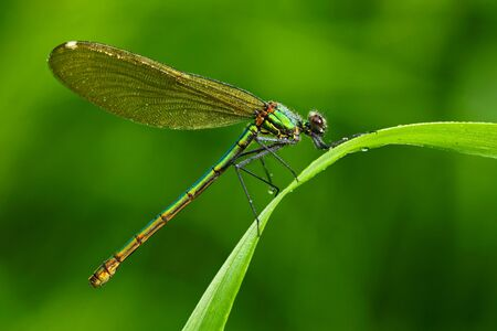Summer dragonfly Banded Demoiselle, Calopteryx splendens. Macro picture of dragonfly on the leave. Dragonfly in the nature. Dragonfly in the nature habitat. Dragonfly sitting on the green leave. Stock Photo