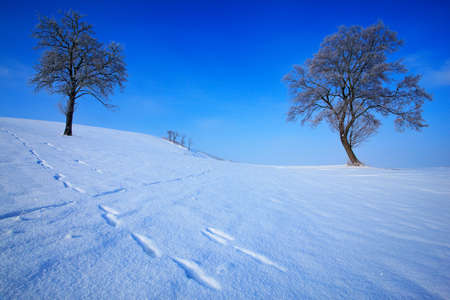 Winter landscape. Two lone trees in winter snowy landscape with blue sky. Solitary trees on the snow meadow. Winter scene with foot path. Snowy hill with dark blue sky. Czech snowy landscape. Stock Photo