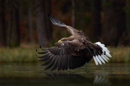Eagle in fly above the dark lake. White-tailed Eagle, Haliaeetus albicilla, flight above the water river Stock Photo