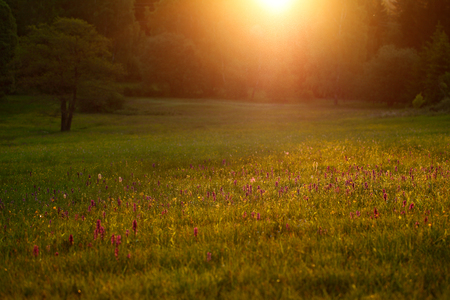 Morning meadow with wild orchid flowers. Sunrise in nature. Broad-leaved Marsh Orchid,  Dactylorhiza majalis, European terrestrial wild orchid, habitat. Nature spring scene, Europe.