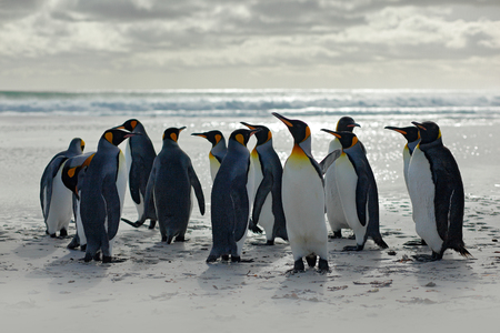 Group of penguins, going from white sand to sea, artic animals in the nature habitat, dark blue sky, Falkland Islands. Wildlife scene from wild nature, king penguins. Beautiful light with nice clouds.