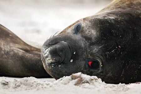 Detail eye portrait Elephant seal, Mirounga leonina. Seal on the sand beach. Elephant seal with peel off skin. Big sea animal in the nature habitat in Falkland Islands. Elephant seal in the nature. Stock Photo