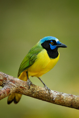 Green Jay, Cyanocorax yncas, wild nature, Belize. Beautiful bird from Central Anemerica. Birdwatching in Belize. Jay sitting on the branch. Yellow Bird, black blue head, wild nature. Wildlife Mexico.