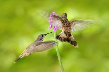 Two bird with pink flower. Hummingbird Brown Violet-ear, Colibri delphinae, bird flying next to beautiful violet bloom, nice flowered green background. Birds in the nature habitat, wild Costa Rica. Stock Photo