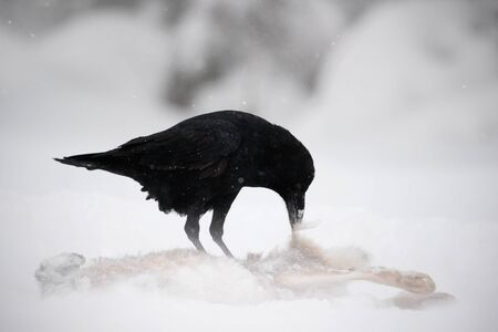 Raven with hare carcass during snow storm. Strong wind with snow during winter. Raven, black bird sitting on the snow tree during winter, nature habitat, Sweden. Wildlife scene from winter.