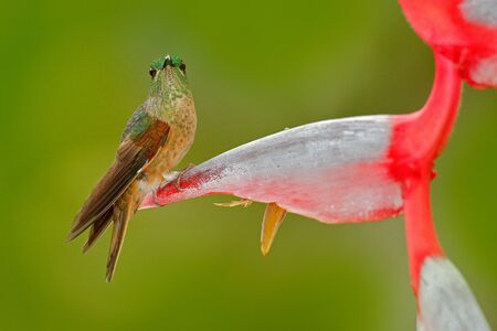 Cute bird sitting on a beautiful red Heliconia flower, tropical forest, animal in nature habitat. Wildlife scene from nature. Fawn-breasted Brilliant, Heliodoxa rubinoides, hummingbird from Ecuador.  Stock Photo