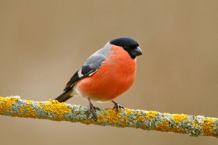 Song bird in the nature. Bullfinch, red bird. Stok Fotoğraf - 93331096