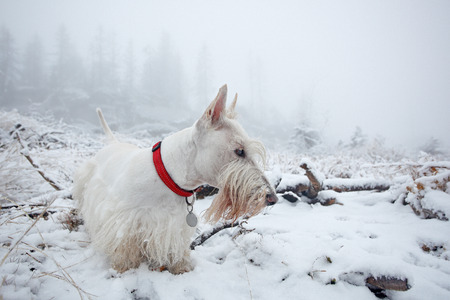 White wheaten Scottish terrier, sitting on the snow during winter. Winter fog with snow, beautiful dog with red collar. Czech forests in Sumava mountain. Cold day, lost nice white dog. Go missing. Standard-Bild