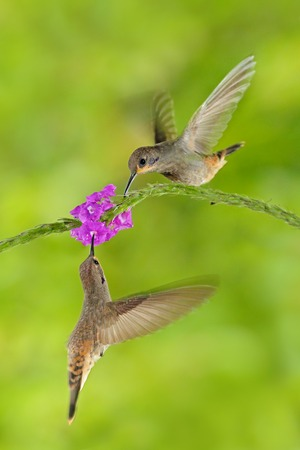 Two bird with pink flower. Hummingbird Brown Violet-ear, Colibri delphinae, bird flying next to beautiful violet bloom, nice flowered green background. Birds in the nature habitat, wild Costa Rica. 写真素材