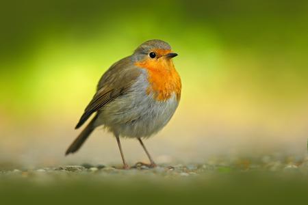 European Robin, Erithacus rubecula, orange songbird sitting on gravel road with green background. Nice bird in the nature habitat, spring - nesting time, Germany. Beautiful orange song bird.
