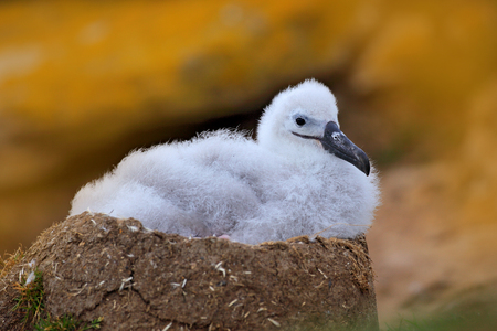 Small albatross in nest. Cute baby of Black-browed albatross, Thalassarche melanophris, sitting on clay nest on the Falkland Islands. Wildlife scene in the nature.  Stock Photo