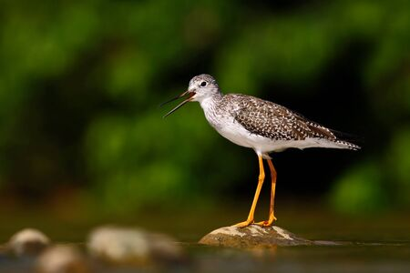 Water bird in the river, Rio Baru in Costa Rica. Lesser Yellowlegs, Tringa flavipes sitting on stone in the river. Water bird in the tropic forest. Summer bird photo from Costa Rica. Animal in water.