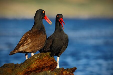 Two sea bird with sea. Two black bird with red bill. Blakish oystercatcher, Haematopus ater, with oyster in bill, black water bird with red bill. Bird feeding sea food, in the sea, Falkland Islands.