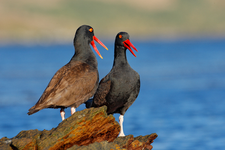 Teo Blakish oystercatcher, Haematopus ater, with oyster in the bill, black water bird with red bill. Bird feeding sea food, in the sea, Falkland Islands. Black bird with red bill. Wildlife scene. Stock Photo